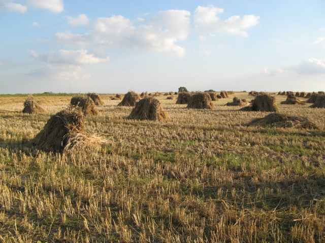 Stooks of barley in a field near Pewsey